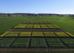 What should be considered during sowing for a successful establishment of oilseed rape (canola)?