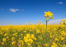What are the advantages of including oilseed rape (canola) in the crop rotation?